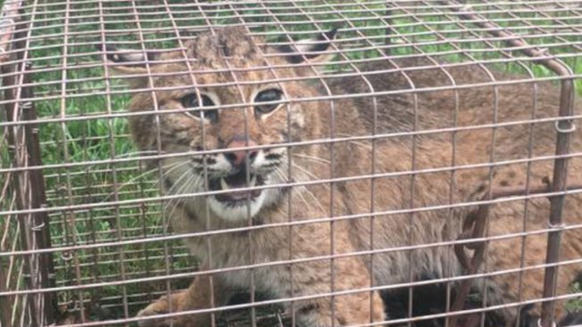 Man Finds Out Bobcat Was Eating His Chicken