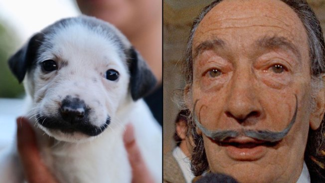 Provincetown Couple Adopts Puppy Who Looks Like Salvador Dalí