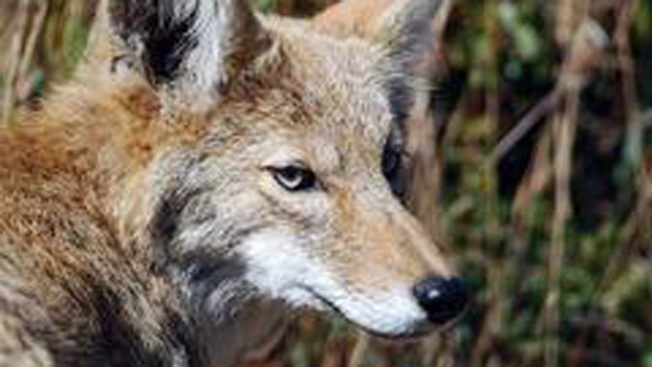 Coyote Attack Prompts Police to Warn Residents
