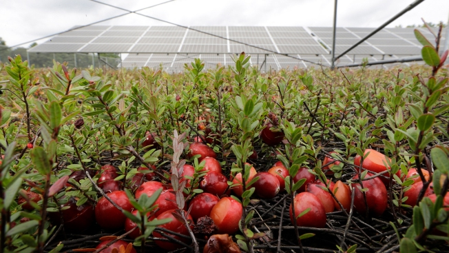 Cranberry Farmers Want to Build Solar Panels Over Their Bogs