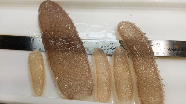 Gelatinous Sea Creatures Invade Northern California Coast