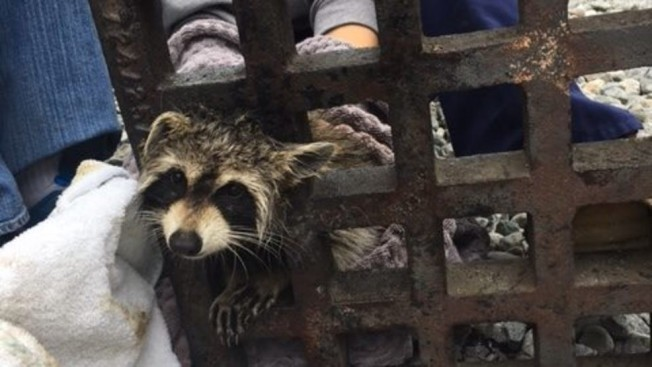 Raccoon Stuck in Sewer Grate Freed by Animal Clinic