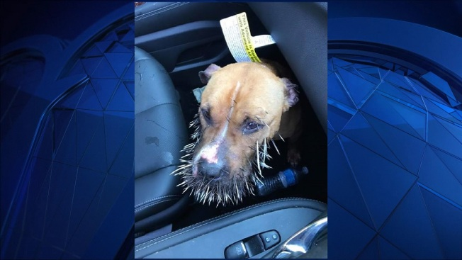 Dog Gets Face Full of Quills, Followed by Lots of Calls