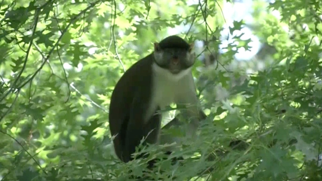 Monkey Still on the Loose at Zoo