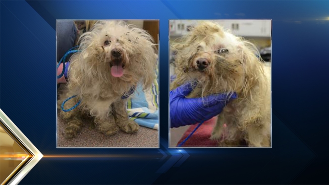 Poodles Covered in Feces Rescued from Owners