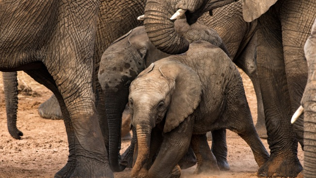 Facts About Elephants African Elephant Family In Kruger National Park South Africa