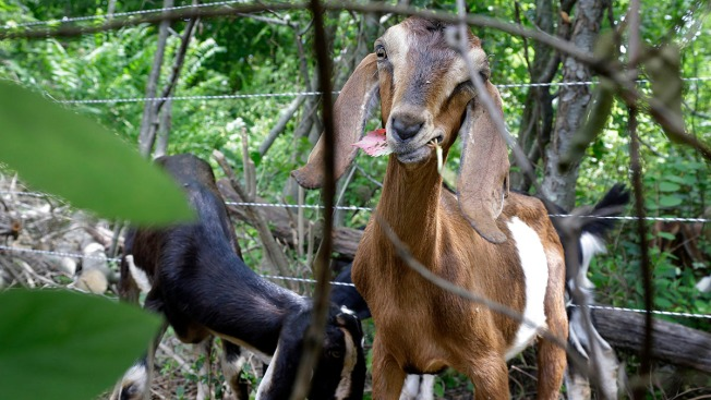 Town to Rent Goats to Eat Pesky Weeds