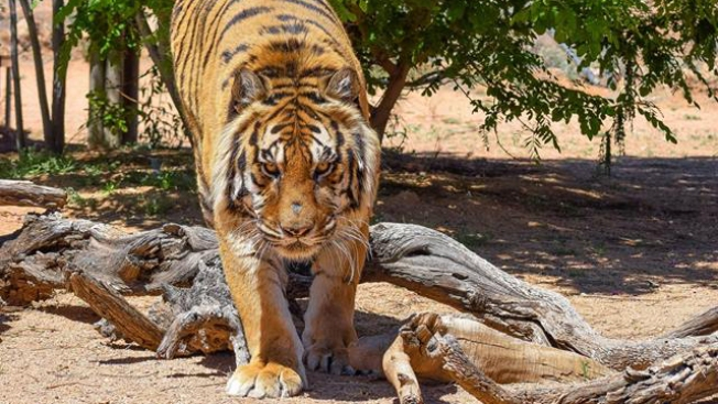 Arizona Wildlife Sanctuary Director Mauled by His Own Tiger