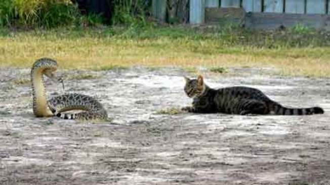 This Cat's Showdown With Rattler is Your Monday Motivation