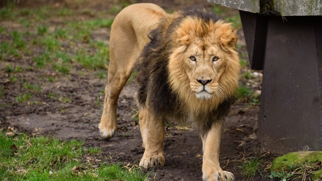 Escaped Lion Kills 22-Year-Old Intern at North Carolina Zoo