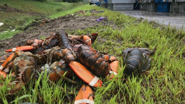 What a Waste! 7,000 Pounds of Lobsters Spill Onto Highway After Maine Crash