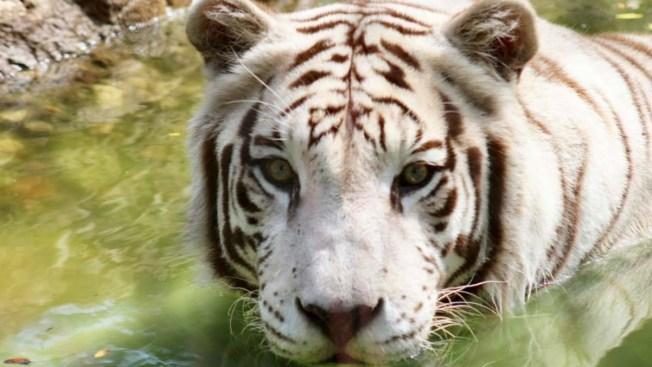Boston Zoo's Beloved 14-year-old White Tiger Dies