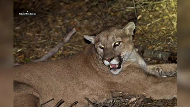 Massachusetts Woman Says DNA Tests Confirm Mountain Lion Visit to Property