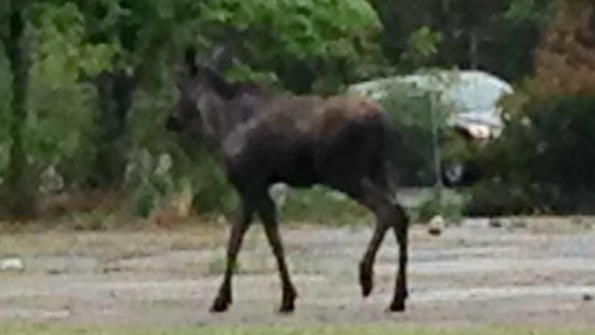 Moose Spotted in Vermont Neighborhood