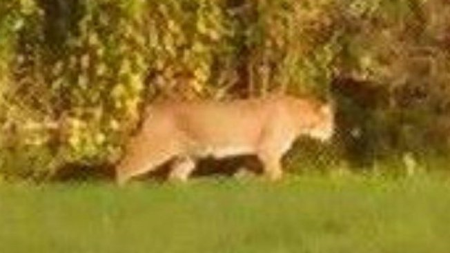 New Mountain Lion Report Renews Debate in Maine