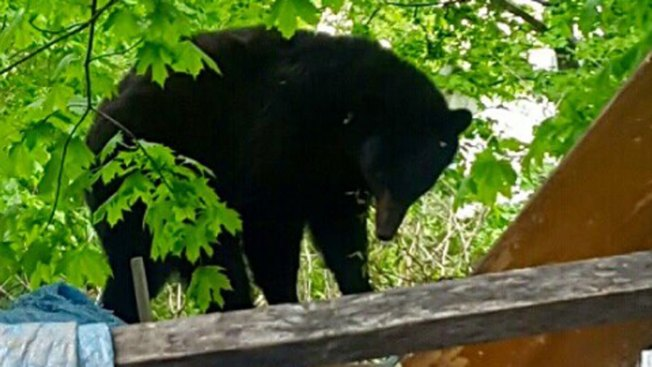 Black Bear Tranquilized in Downtown New Haven, Conn.
