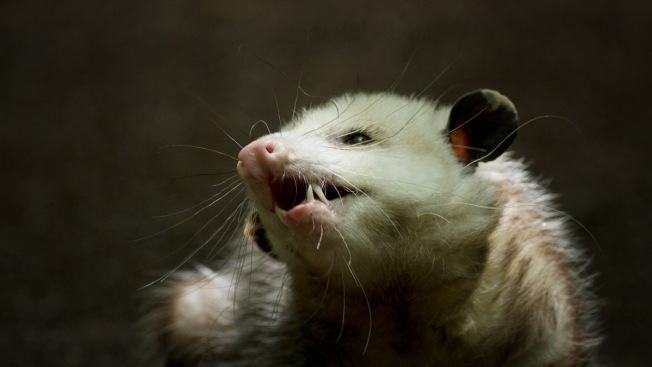 Harsh Winter Taking Toll on Maine Opossums