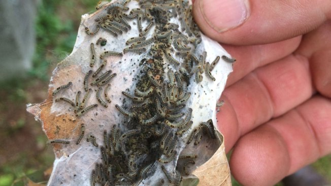 Rash of Browntail Moths Making Life Painfully Itchy for Mainers