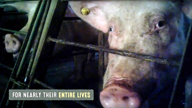 Undercover Video Shows Pig Abuse, But Also Common Practices