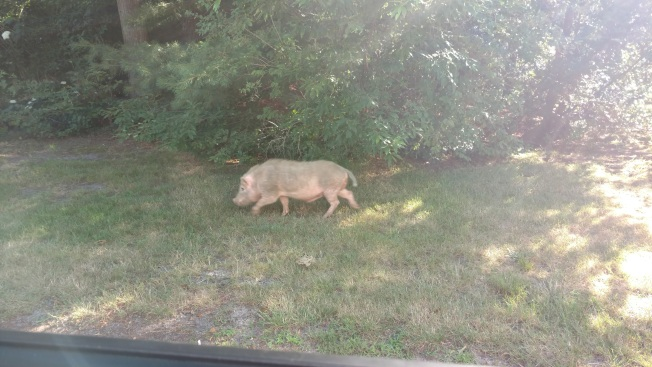 Pig on the Loose on Cape Cod