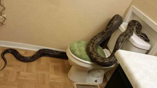 Texas Woman Finds 12-Foot Python Slithering Into Tub