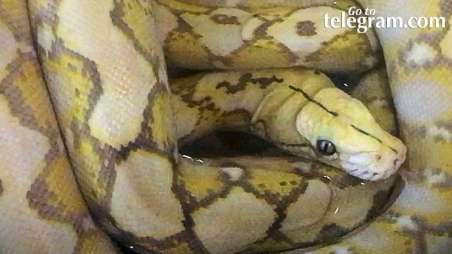 Surprise! Cleaning Staff Finds 5-Foot Python in Hotel Room Drawer