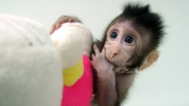 Scientists Say They've Successfully Cloned Monkeys; Does That Mean Human Clones Are Next?