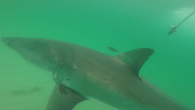 Great white shark spotted in Cape Cod waters