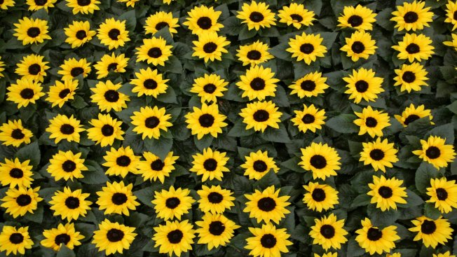 Sunflowers to Help Provide Power
