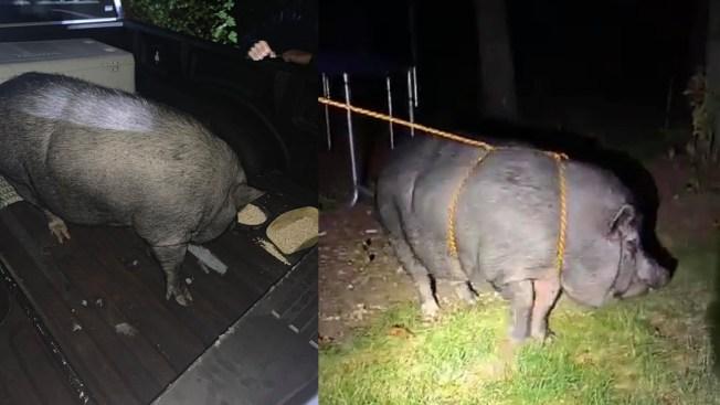 Cops Corral 'Ham on the Lam' in Wareham Using Dog Treats