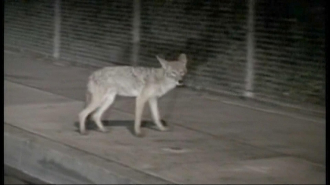 Hired Gun to Rid Town of Coyotes