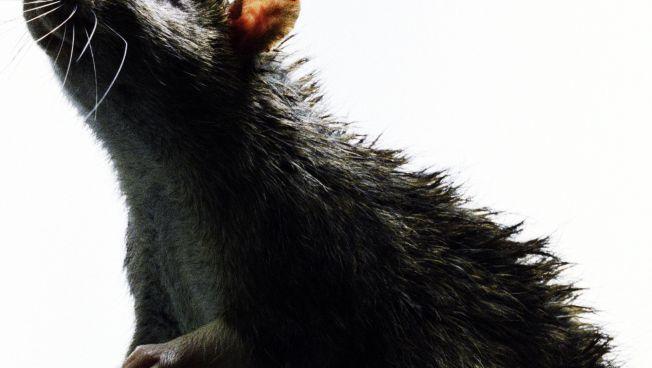 Rat Takes Down Pigeon on New York City Sidewalk