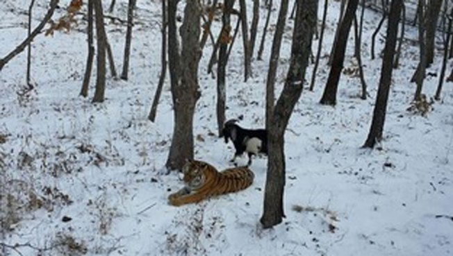 Goat Becomes Friends With Tiger Who Was Supposed to Eat It