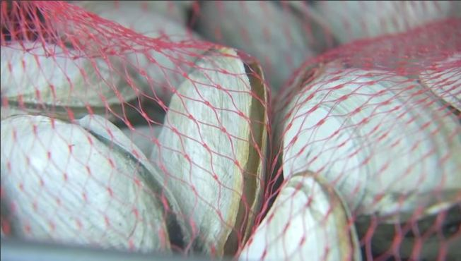 How Big Should a Clam Get? Maine Eyes New Harvest Rules