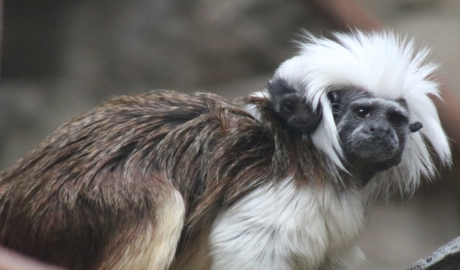 Boston's Franklin Park Zoo Announces Birth of Baby Monkey