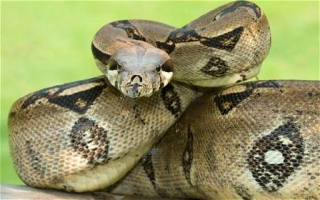 Police Warn Residents After Officer Sees Snake Eating 'Large Mammal'