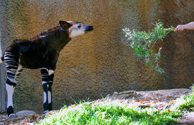 Young Okapi Makes Debut at Los Angeles Zoo