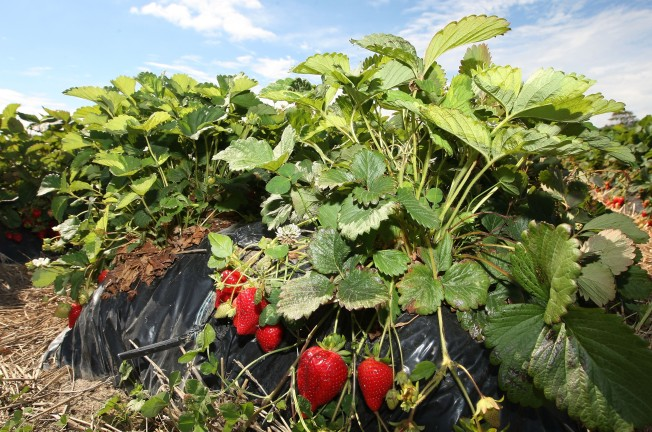 Researchers Say It's Possible to Extend Strawberry Season