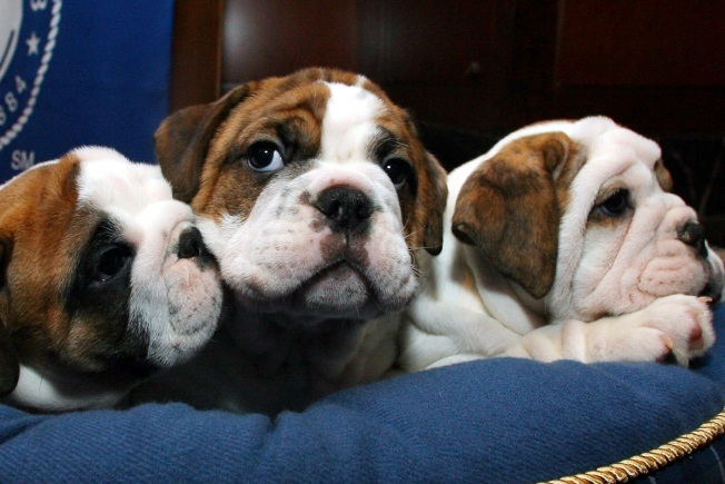 AG Sues Massachusetts Man for Selling Fatally Ill Bulldog Puppies to Unsuspecting Buyers