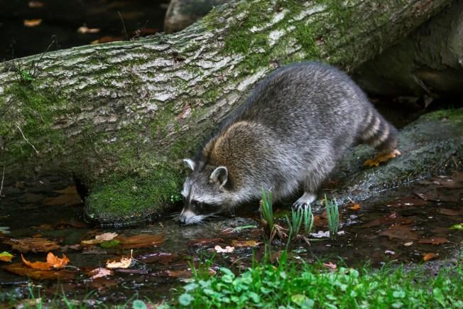 Massachusetts Man Attacked by Suspected Rabid Raccoon