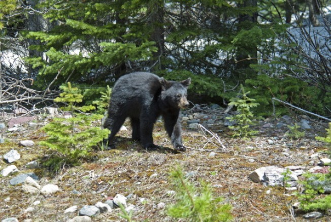 Black Bear Sightings on the Rise in Rhode Island