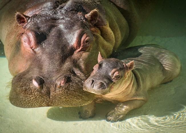 Video Shows Man Smack Hippopotamus' Backside at Los Angeles Zoo