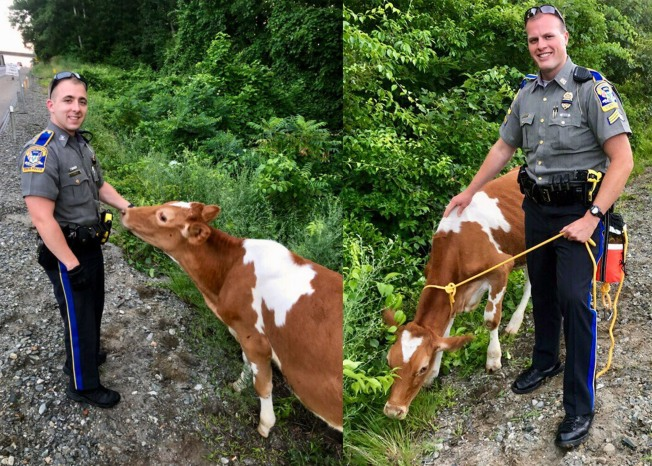 Troopers Rescue Cows From Along I-395 in Griswold