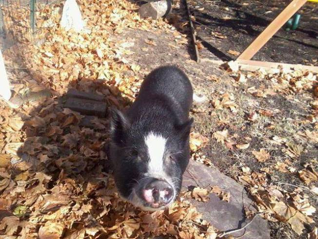 Missing Pig, Ziggy, Found Safe in Newton, Mass.