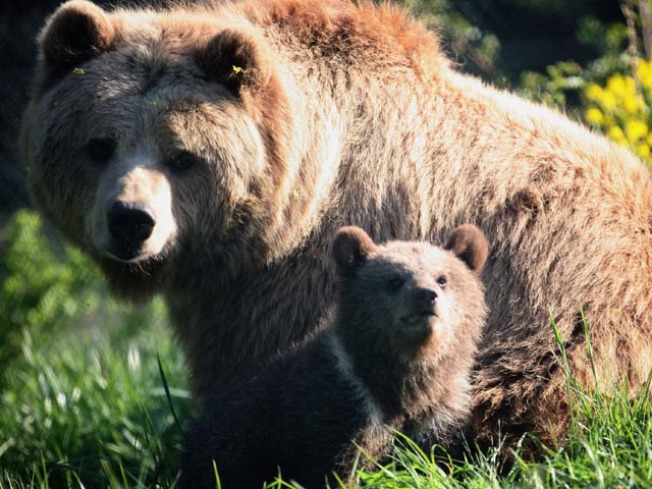 Activists Seeking Ban of Bear Hunting Methods