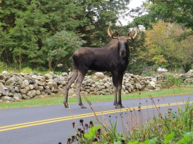 Report: Maine's Moose Population Declining Due to Ticks