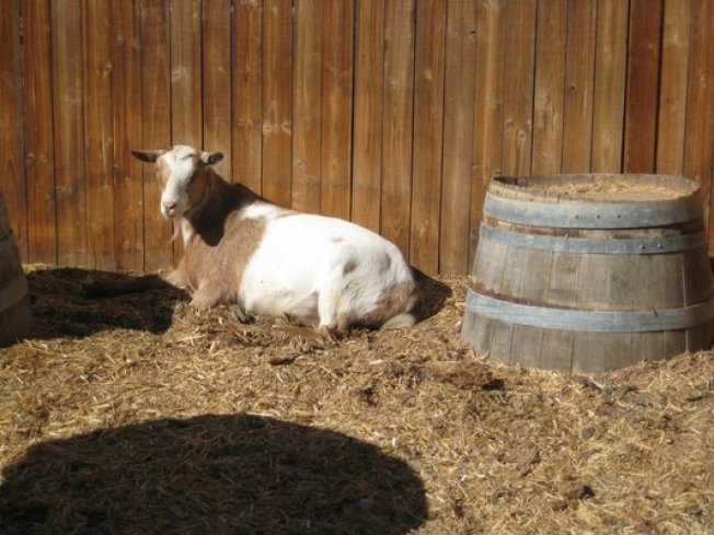 Escaped Goat Goes on the Lam, Inspires Twitter Account