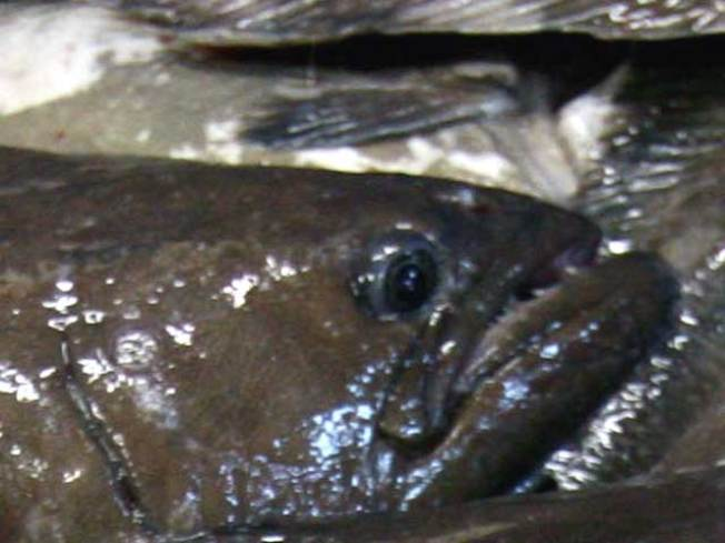 Overfished Halibut Under Scrutiny as Maine's Catch Increases