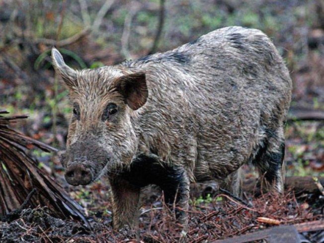 Wildlife Officials Kill Wild Pig in Northeastern Vt.