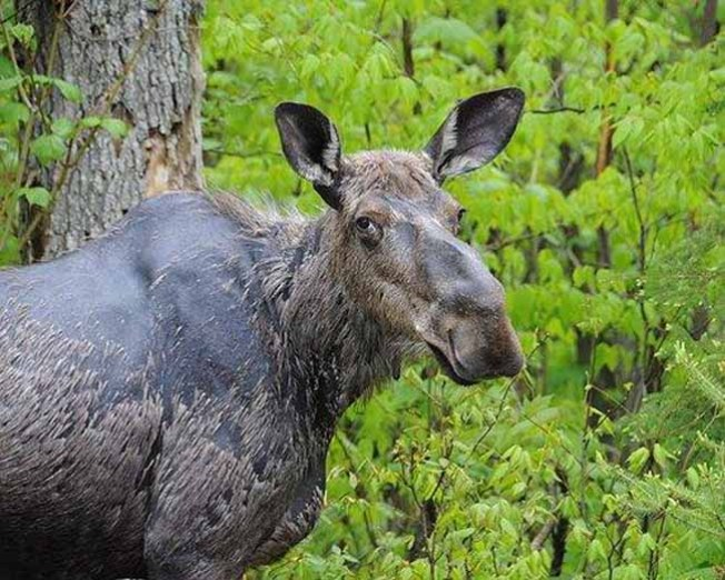 Wandering Moose Euthanized in Vermont